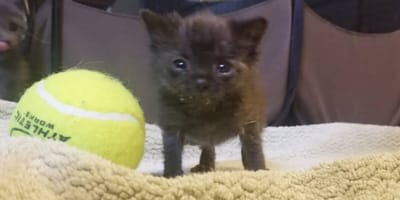 Tiny rescued kitten is the size of a tennis ball