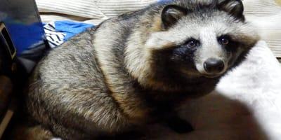 perro mapache Japón letrinas