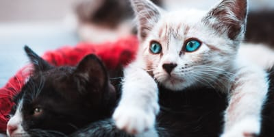 Training a kitten: The importance of vicariousness (leading by example)
