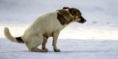 Bewährte Hausmittel, wenn der Hund an Durchfall leidet