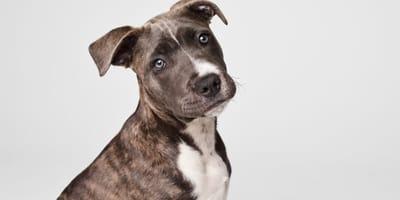 Staffordshire bull terrier: 10 razones para adoptar uno