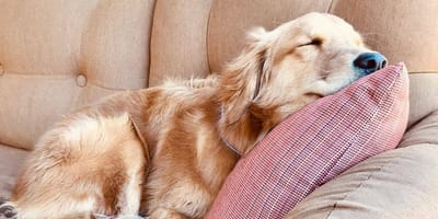 pies śpi