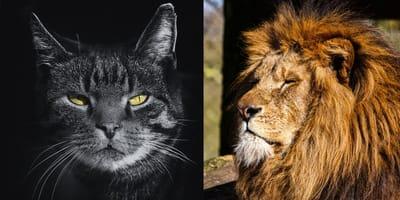 gato enfadado leon