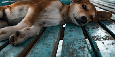 Leżący pies.