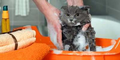 How to wash a cat?