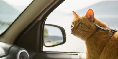 Ginger cat travelling in car