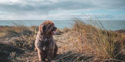Hund in Dünen