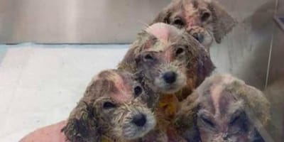 perros minusculos rescatados