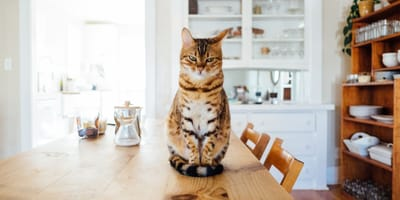 Tabby cat sat on the kitchen table