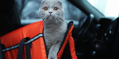 How to travel by car with your cat?