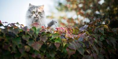 Katze im Efeu