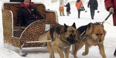 Psy-taksówki: potworna chińska moda