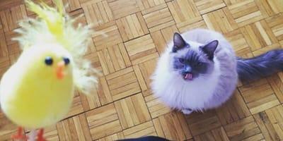 gatto che guarda pulcino finto