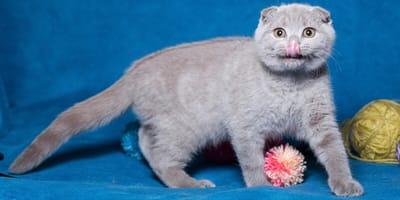 Katze streckt Zunge raus