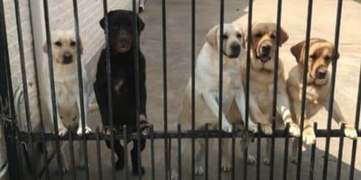 cani dietro un cancello