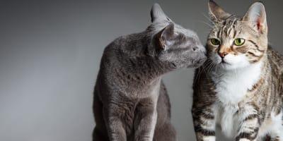Adoptar un segundo gato: consejos a seguir en casa