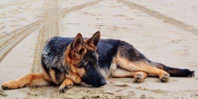 Quali sono le cure per la piodermite del cane?