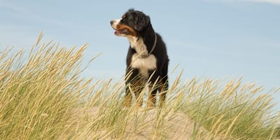 Hund in den Dünen auf Sylt