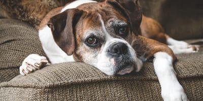 Choroby psów starych – objawy, diagnostyka i leczenie