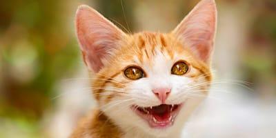 Kätzchen zeigt Zähne