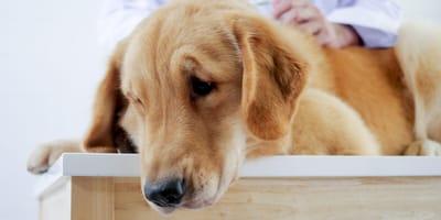 Babeszjoza u psa – objawy i leczenie