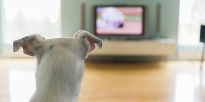 Hund schaut fern