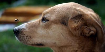 Piquete de abeja en perros: ¿qué hacer?