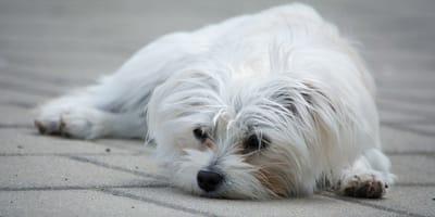 cane-maltese-sdraiato