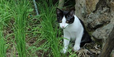 Katze im Schnittlauch Beet