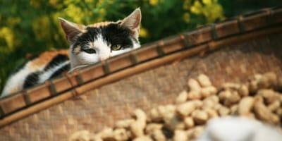 Katze mit Erdnüssen
