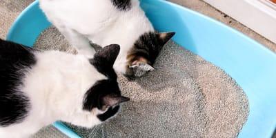 gatos jugando con la caca