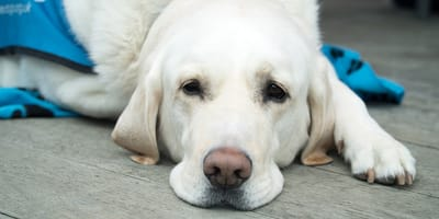 occhi-del-cane