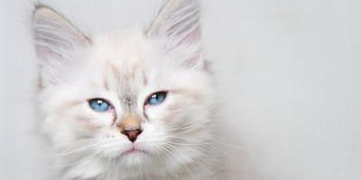 gato blanco ojos azules