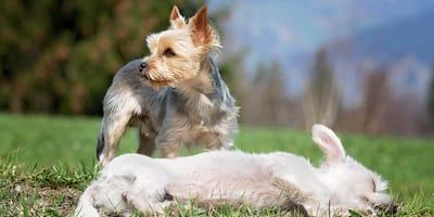 cani-piccoli-che-giocano