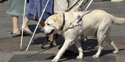 ¿Puedo adoptar un perro guía jubilado?
