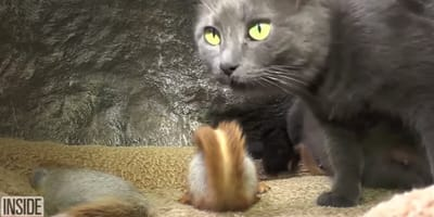 Grey cat in the company of squirrels