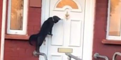 gato llama a la puerta
