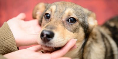 ¿Puedo dar a mi perro en adopción?
