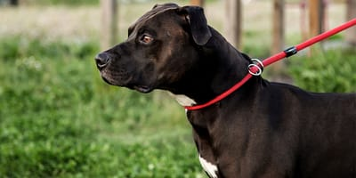 Las mejores correas de paseo y adiestramiento para perros