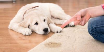 Was tun, wenn der Hund in die Wohnung pinkelt?