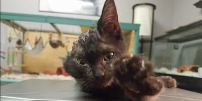 gattina nera senza un orecchio