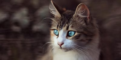 Seltener (An)Blick: Katzen mit blauen Augen