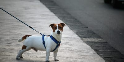 Złodziej psów z Gorzowa zatrzymany, grozi mu 5 lat więzienia