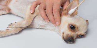 ¿Qué debo hacer para limpiarle las orejas a mi perro?