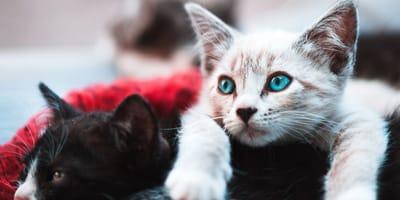 gattino nero e gattino bianco con gli occhi azzurri