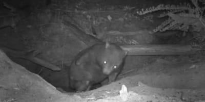 Un wombat grabado en su madriguera
