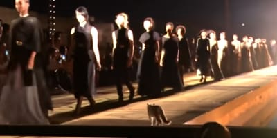 Cat does catwalk in fashion show