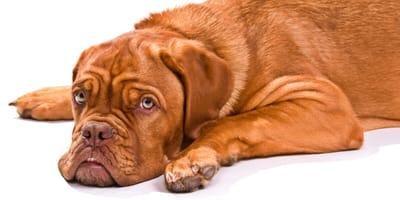 Skręt żołądka u psa – objawy i leczenie