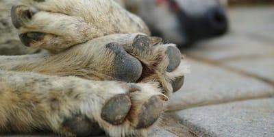 Curar heridas en las almohadillas de los perros