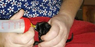 New born kitten is saved from a stalking predator fox
